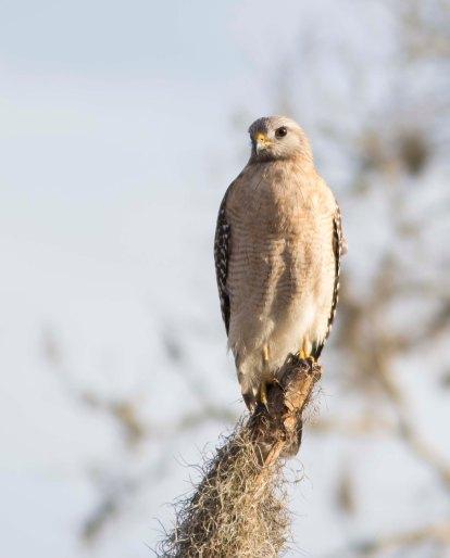 red shoulder hawk sm