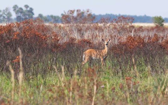 deer sm